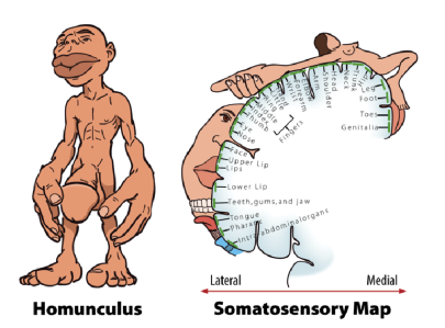 figure-2-left-the-homunculus-homunculus-means-little-man-and-here-you-see-a-scale